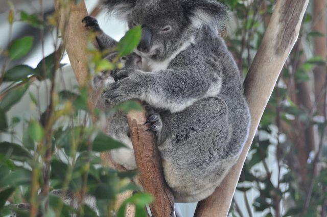 As coalas são umas fofuras
