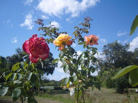As rosas plantadas por ele crescem em direção ao céu