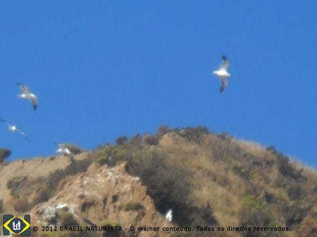Trazendo alimento para os ninhos na fenda da rocha