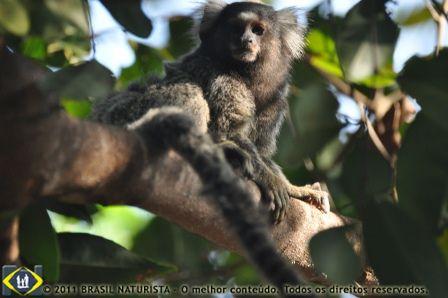 O morador da mata na área de preservação de Tambaba/PB, observa atento
