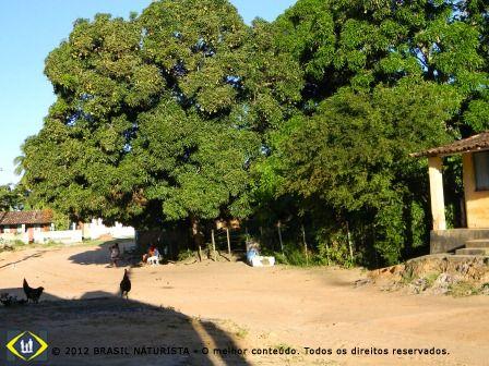 A paisagem bucólica na sombra de uma mangueira