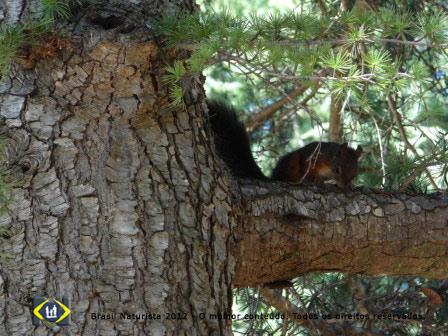 O esquilopulando de árvore em árvore...