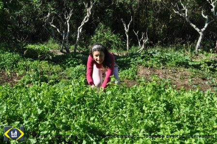 Colhendo verduras para salada na horta da Colina...