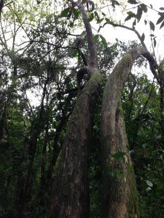 Árvores imensas no meio da mata