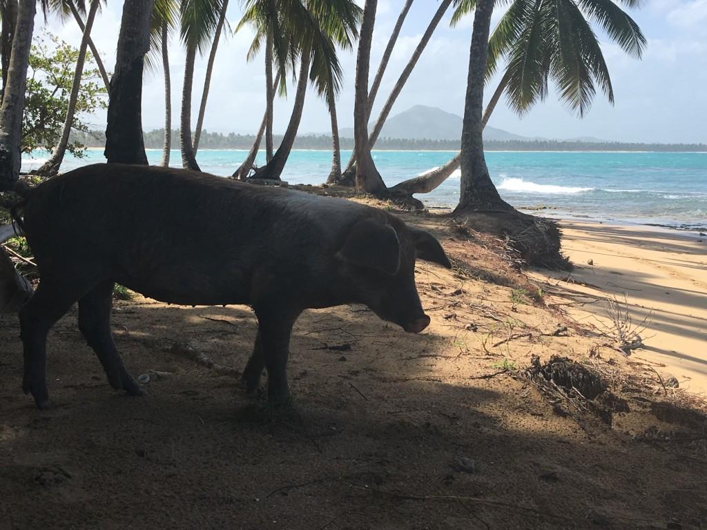 Porcos na beira do mar.